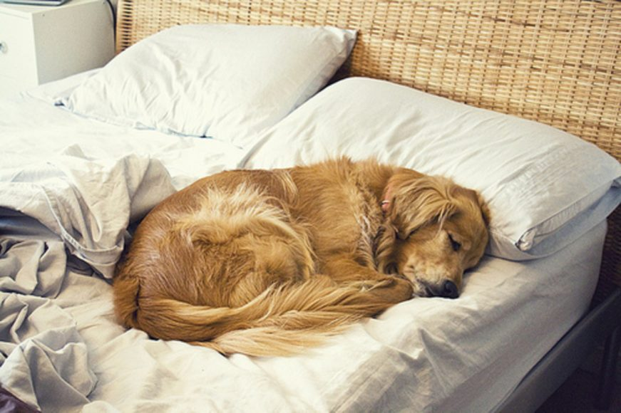 golden-retriever-dormir-cama